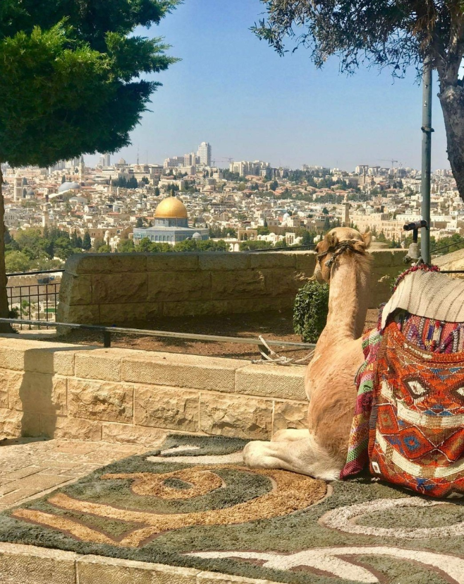 Camel resting on Mount of Olives